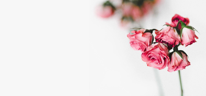 rosa Rosen auf weißem Hintergrund